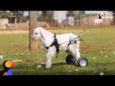 Little Goat Learns How To Walk On His Own | The Dodo