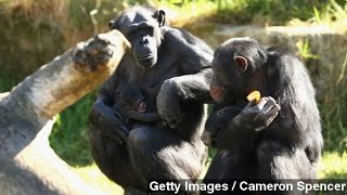Cultural Learning In Wild Chimps Observed For The First Time