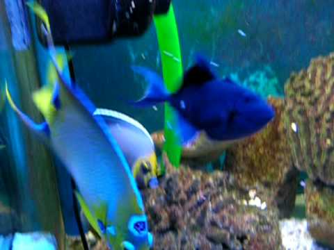 Marine Fish Tank From France With Conspicuous Angel And  Queen Angel