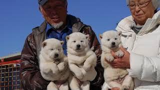 北海道犬 子犬.