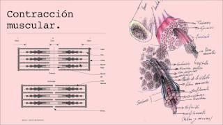 Célula muscular y trabajo corporal 3