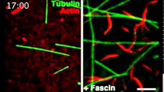 Tau co-organizes dynamic microtubule and actin networks