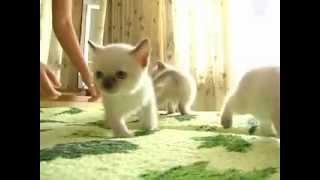 Питомник тайских кошек