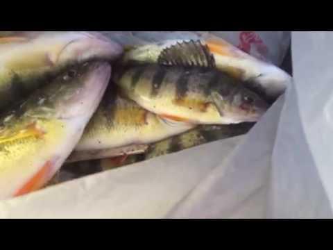 Perch Fishing At Long Pond