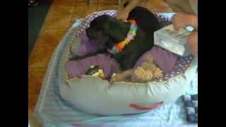 Labrador Retriever, Buddy´s 1.  Geburtstag, Geschenke Auspacken    Buddy´s 1th Birthday, My Gifts