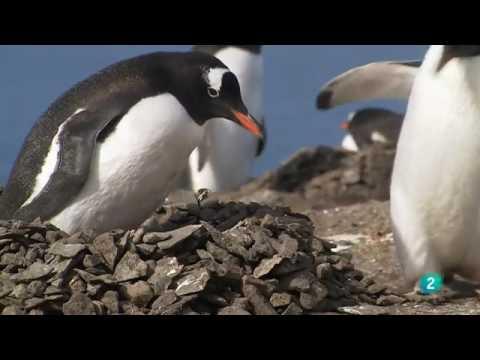PINGÜINOS - Vida Salvaje de la Antártida