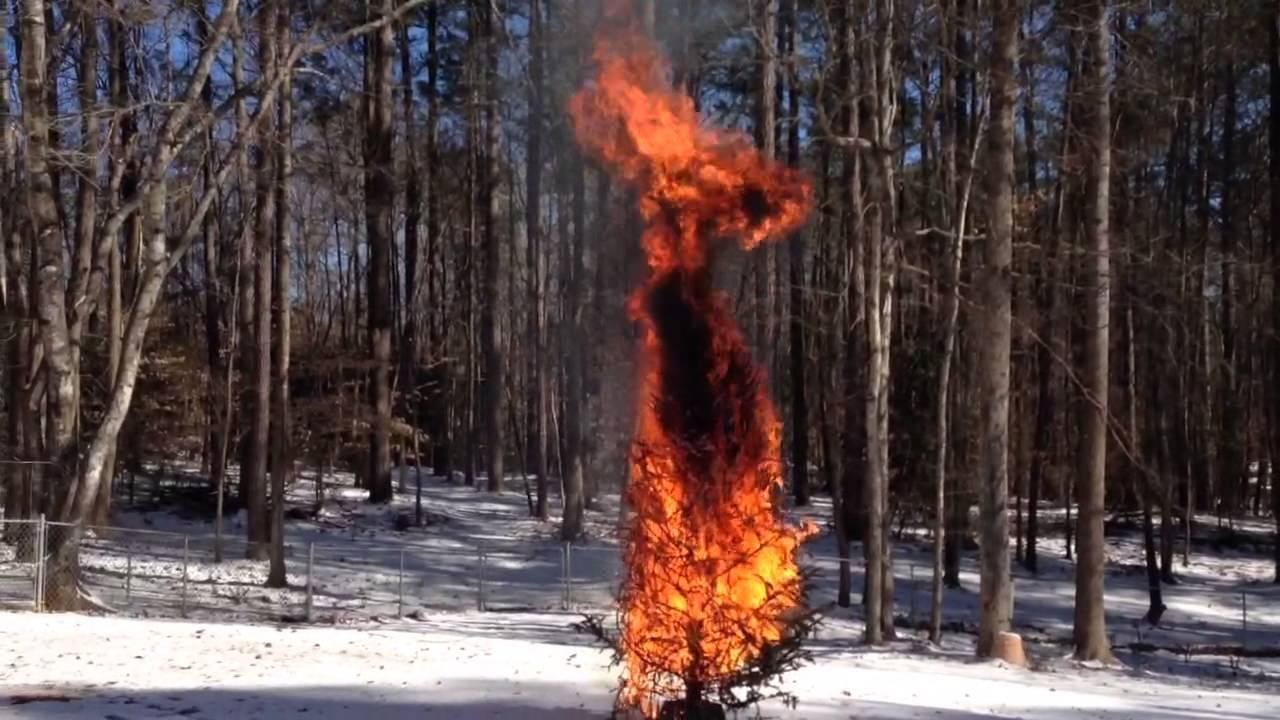 Christmas Tree Inferno The Burning Bush Fire Dangers