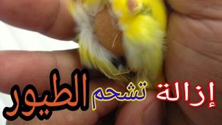 الطريقة الصحيحة لازالة تشحم الطيور