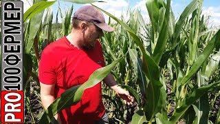 Выращивание кукурузы. Нестабильные осадки.