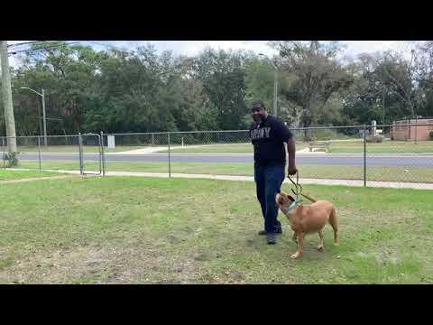 Rehabilitating American pitbull terrier for disable owner