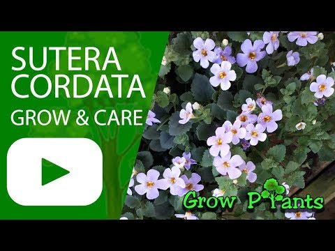Sutera cordata - grow and care (Ornamental bacopa)