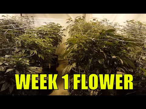 COCO VS. SOIL.  FLOWERING CANNABIS WEEK 1.