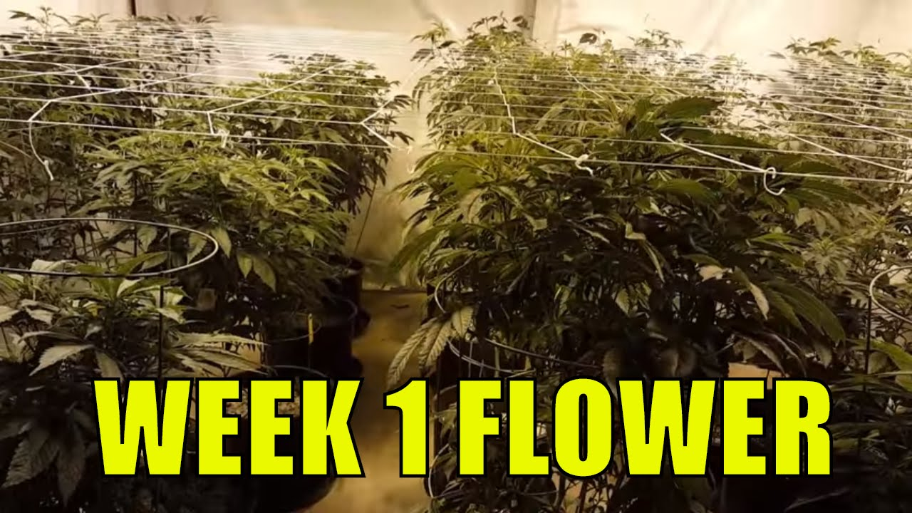 Coco vs soil flowering cannabis week 1 youtube for Soil vs coco