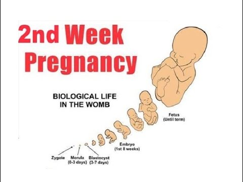 2 weeks pregnant symptoms and signs - YouTube