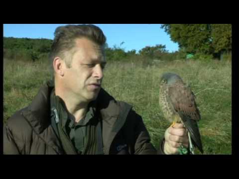 BBC Spring Watch   Kestrels
