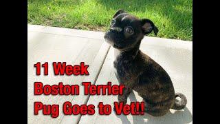 11wk Boston Terrier Pug (Bug) Goes to Vet!