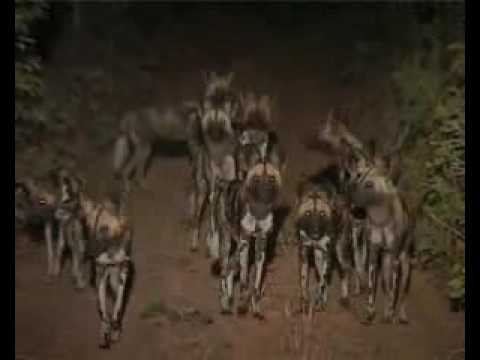African wild dogs in Niassa Reserve, Mozambique