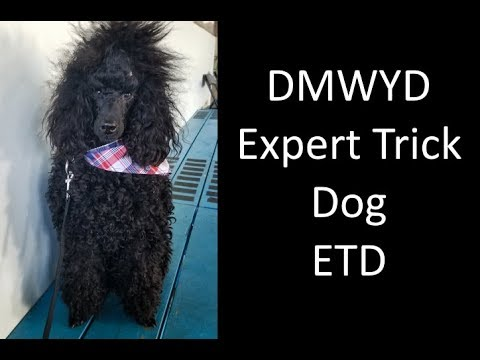 Miniature Poodle Expert Trick Dog DMWYD and AKC Trick Dog Performer