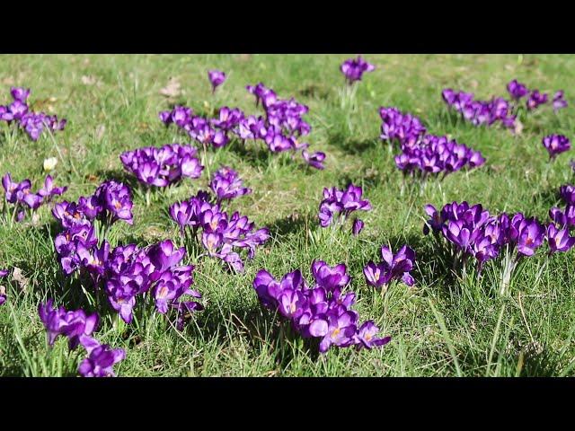 1 minuut natuur: krokussen - crocusses - Krokus