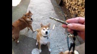 柴犬隊の呼び戻し 最強アイテム、犬笛