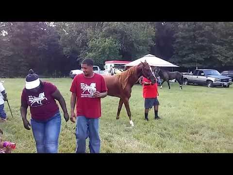 New Boston Texas Horse Show 2017. Best Stud Horse