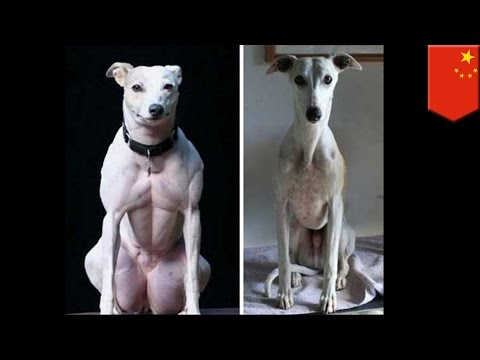 Genetically modified dogs: Chinese scientists use CRISPR to create muscly freaks - TomoNews