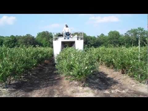 DiMeo Family Picking Blueberries - DiMeo Blueberry Farm & Blueberry Plants Nursery