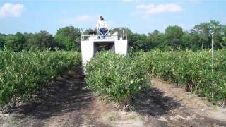 Picking Blueberries - DiMeo Blueberry Farms & Blueberry Plants Nursery