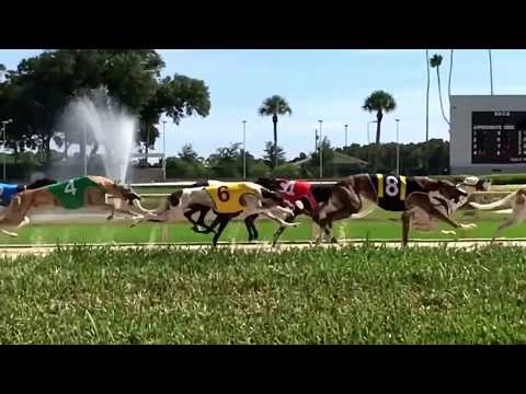 Derby Lane Greyhound Racing! Florida travel guide ! Free fun!  Slow Mo!