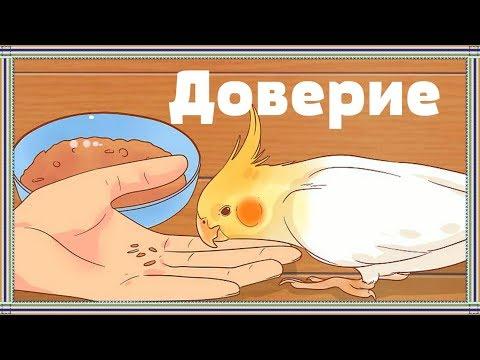КАК ПРИРУЧИТЬ ПОПУГАЯ. Что нужно знать о приручении попугая.