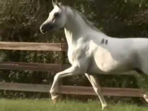 Arabian Horse Images فيديو حصان...