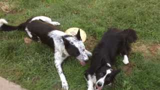 Corgi & Queensland Heeler/border Collie Mix Playfight