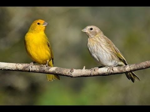 Canary Singing