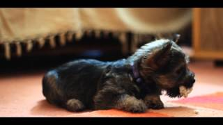my little cairn puppy 10 weeks old crazy dude shot on canon 600d .50mm f1.8 lens .