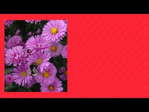 Цветок астра – посадка и уход, фото астры, выращивание