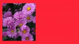 видео Астра кустарниковая