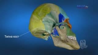 3D Обучение по анатомия – Кости на черепа