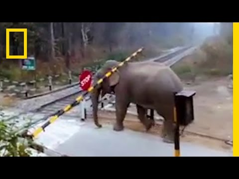 Thumbnail: Watch: Impatient Elephant Disobeys Railway Rules | National Geographic