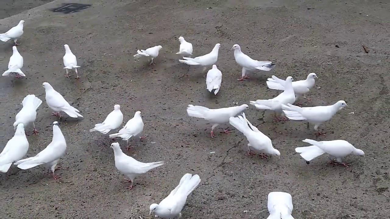 красивый загрузчик, фото голубей в г баку неприглядного