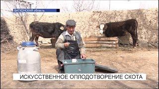 Искусственное оплодотворение скота\NewTV