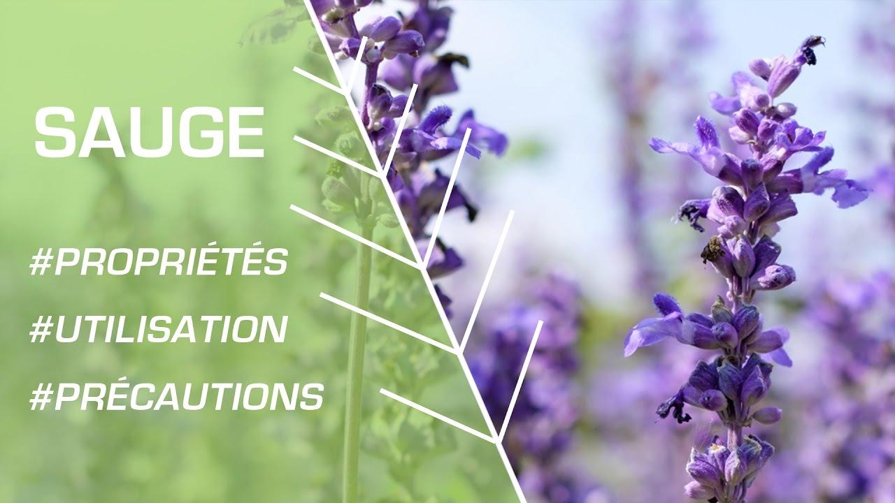 Comment utiliser la sauge ? - Phytothérapie
