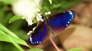 傻瓜接力 救紫蝶 - 茂林土芒果的故事