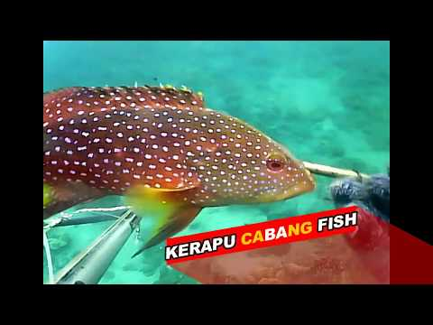 Spearfishing Sabang Grouper ACEH indonesia 2017