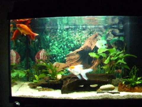Acquario pesci rossi youtube for Pesci acquario