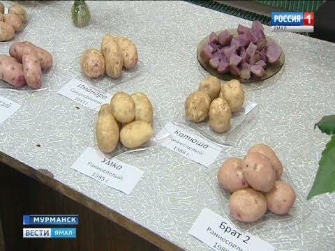 Как вырастить качественный картофель на севере, знают ученые опытной станции в Мурманской области