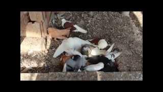 Болезни  голубей-псевдочума,вертячка,Ньюкасла Ч 6