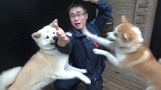 秋田犬の上下関係が定まらなくて困っています。