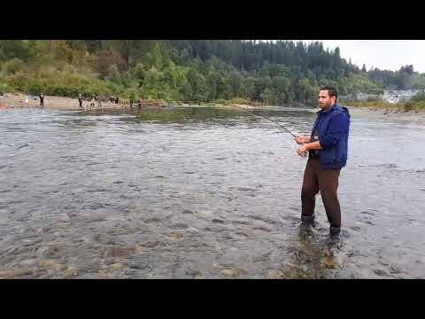 Chum Salmon British Columbia *October 2017* Stave River Mission