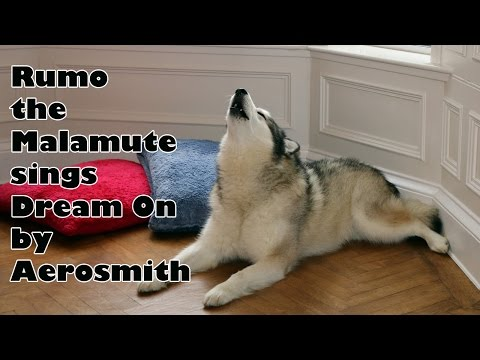 "Amazing Dog! Rumo the Malamute Sings ""Dream On"" by Aerosmith"