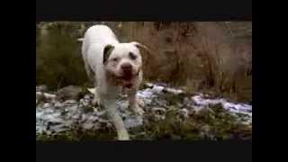 Ostergaard,s Zoro de Artico con Coco Bulldog Oldtime thumbnail